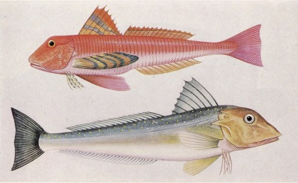 The Observer's Book of Sea Fishes, Plate 49