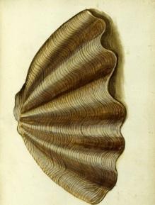 aldrovandi-shell-2